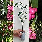 Portal Cool Eugenia myrtifolia/Syzygium paniculatum Magenta Lilly Pilly Cherry / 20 Cm impianto