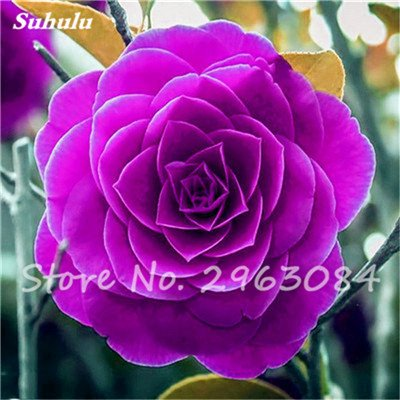 5 pièces rares Graines arc-en-Camellia fleurs, plantes en pot de bricolage, Lumière Parfumée Fleur intérieur, intérieur Bonsai planter des fleurs Semences 23