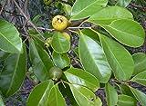 Lebensraum–Psidium Guave–Samen–APS–15Samen–APS