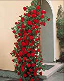 Risitar Graines - 100pcs Rare Rosier grimpant rouge/Indigoletta/Métanoïa, Grainé fleur jardin plante vivace résistante au froid