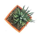 #4: Himalayan Flora Nursery Zebra Succulent Live Plant