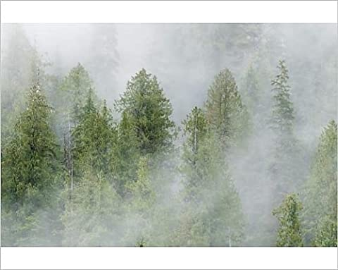Photographic Print of Mist covered pine trees in Great Bear