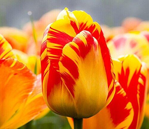Toutes sortes de bulbes de tulipes belles fleurs de jardin sont appropriés pour les plantes en pot (il n'est pas une graine de tulipe) 2PC bulbes 10