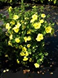 gelb blühender Fünffingerstrauch Potentilla Klondyke 30 cm hoch im 3 Liter Pflanzcontainer