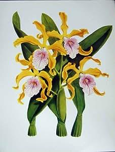 Bianco di P!nk di Giallo di Grandis di Laelia dei Fiori delle Orchidee C1979