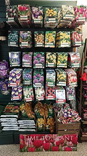 Preisvergleich Produktbild Portal Cool 7 Allium Sommer Drumm: Taylors Herbst Einpflanzen Frühlingsblüher 26 Sorten