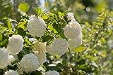 Viburnum tinus 20 Samen Lorbeerblättriger Schneeball