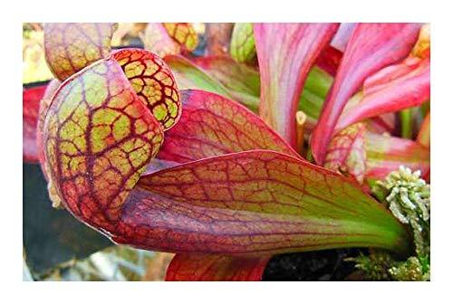 Sarracenia psittacina Apalachicola - 5 Samen
