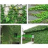 100pcs / lot, Parthenocissus quinquefolia, semillas enredadera Bonsai semillas de plantas en maceta en casa jardín