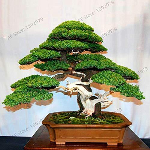 agrobits fiori di sconto genuino! 50 ginepro bonsai albero in vaso bonsai purificano l'aria assorbire i gas nocivi giardino ginepro, q