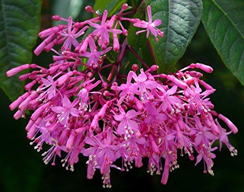 Fuchsia paniculata   Shrubby Fuchsia   Sehr selten   12 Samen