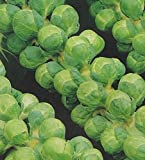 Premier Seeds Direct ORG199 Brussel Sprout Groninger Organic Seeds (Pack of 100)