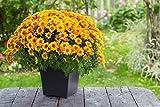 Pinkdose® Pinkdose Blumensamen: Mamas Gelb Hausgarten Blumensamen Samen Für Poly Growbag/Töpfe (12 Pakete) Garten Pflanzensamen Von