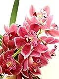 1 blühfähige Orchidee der Sorte: Cymbidium Gem Stone rot , traumhafte Orchidee vom deutschen Züchter
