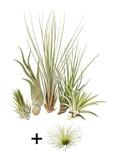 Allterra Tillandsien 5er-Mix + 1 EXTRA Tillandsie, Bromeliengewächs (Terrarien Für Pflanzen)