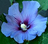 * BLUE BIRD * Rose von Sharon * HARDY HIBISCUS * 3 SEEDS!