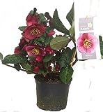 Helleborus 'Charmer'- rote Christrosen Schneerose oder Nieswurz 15 cm Topf winterblühend, winterharte Pflanze