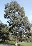 Future Exotics Eucalyptus Perriniana Eukalyptus Pflanze winterhart 40 - 50 cm
