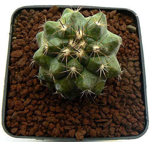 Portal Cool Samen Paket: Copiapoa Hybrid Pot 9x9cm Rif 1908 No Cactuses Adromis Aztekium