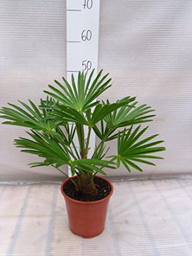 Trachycarpus wagnerianus, Hanfpalme, Palme, Winterhart - verschiedene Größen (35+cm -Ø 17 cm - 2.5 Ltr)