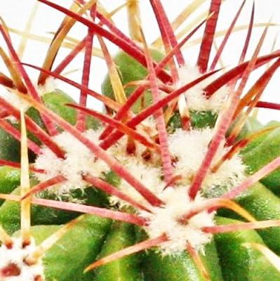 Ferocactus stainesii - kleine Pflanze im 5,5cm Topf