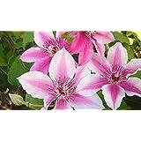 Clematis 'Carnaby' Clematis Híbrido 'Carnaby' planta trepadora hasta 100cm
