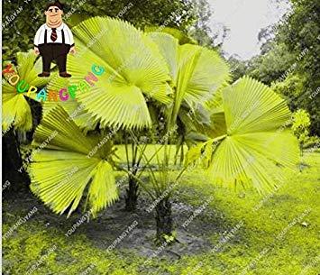 60 PC/Beutel Regenbogen Lady Palm Topfpflanzen Samen, Palme Pflanzen Bonsai Angiospermen, Misch Perennial seltene Blumen Planen: 9