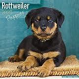 Rottweiler Puppies – Rottweiler Welpen 2020: Original Avonside-Kalender [Mehrsprachig] [Kalender] (Wall-Kalender)