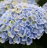 Hortensie Gartenhortensie Magical Revolution blau