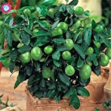 Pinkdose 20 teile/beutel Kaffernlimette Zitrone Obst Organische Indoor Bonsai Baum für Fome Garten Topf Liefert Citrus Aurantifolia