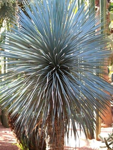 Portal Cool Yucca Rigida (blau Yucca) - 10 Samen. Robust Mexican Art Hardy -10C
