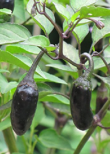 Tropica - Paprika / Chilli - Purple Tiger (Capsicum chinense) - 10 Samen - Chilli / Pepperoni