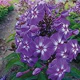 Kölle Flammenblume ' Adessa® Purple Star' - Phlox paniculata 'Adessa® Purple Star' - violette Blüten mit weißer Mitte - Gartenstaude im 11 cm Topf - frisch aus der Gärtnerei - Pflanzen Gartenstaude