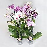 10 Stück Phalaenopsis, 2 Triebe, Orchidee, blühend, 9cm Topf, Orchid, Orchidée
