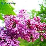 Green Seeds Co. 2015Pflanzen Flieder Blume Flieder Liebe aus Lange Ohrstecker reich Blumengarten pflanzen 20