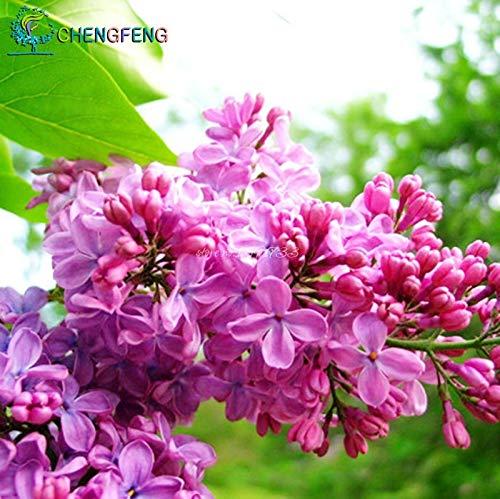 Green Seeds Co. 2015plants lilas fleur amour lilas off de longs goujons riches plantation florale jardin 20