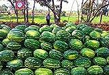 11.11 Große Förderung! 30 PC/Los riesige Wassermelone Samt Saft Obstbaum Samt grüne Gärten & Heim aweet ausdauernde Bio-Kräuter-Pflanze