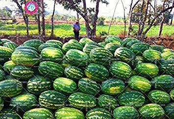 11.11 grande promotion! 30 pcs / lot de semences d'arbres fruitiers de jus de graines de melon d'eau géant vert jardin et la maison aweet plante vivace d'herbes biologiques
