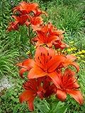 Lilium asiatic - Asiatische Lilie ' Brunello '