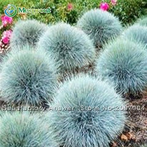 ¡Gran venta! Las semillas de la hierba azul festuca (Festuca - glauca) Planta perenne hierba ornamental por lo fácil de cultivar - 100pcs / lot