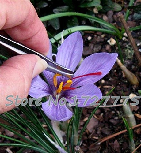 semi 100pc zafferano, semi di fiori di zafferano, semi di zafferano, giardino fiori delle piante, semi bonsai