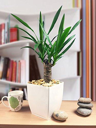 Easy Plants Hardy Evergreen Blumentopf, Spinlos, für Yucca Haus/Garten, glänzend, Weiß -