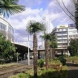 Future Exotics Trachycarpus Fortunei winterharte Hanfpalme - 60 - 65 cm