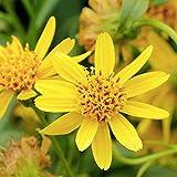 Echte Arnika – Berg-Arnika – Bergwohlverleih - Arnica montana – Zier-/Arzneipflanze – 100 Samen