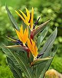 Strelitzia Paradiesvogelblume