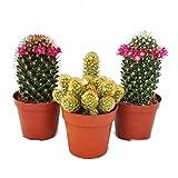 Kaktus Set - 3 verschiedene Kakteen