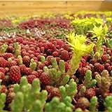 Sedum Mischung - Dachbegrünung - Gründach - 1.000 Samen