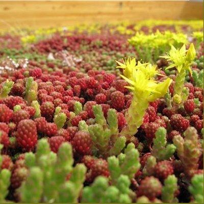 Gründach - Sedum - Sempervivum - Dachbegrünung Samen Mischung - 3-4 m2