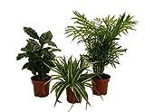 Amazon.de Pflanzenservice 890903 Indoor-Trio, Kaffe-Pflanze, grünlilie und Zimmerpalme