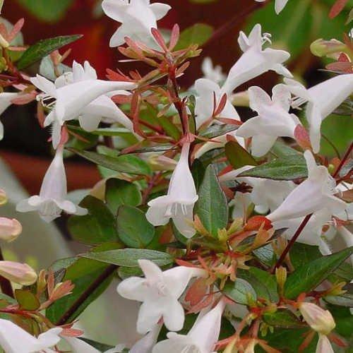 abelia-grandiflora-contenedor-de-5litros-40cm-de-altura-co
